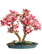 Cupli Plant